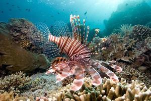 chasse, lionfish rouge, à, a, récif, de, bunaken, île, indonésie photo