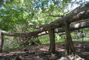 Figuier des banians dans la forêt tropicale de Maui
