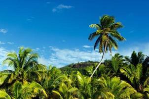 Cocotiers dans les îles Cook de la lagune d'Aitutaki