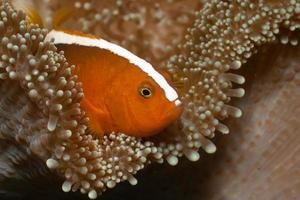 poisson-clown orange amphiprion sandaracinos dans le tapis de merten anémone de mer