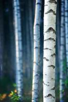 forêt de bouleaux bleus photo