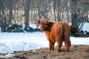 bétail de montagne photo