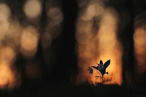 fleur, dans, sombre, forêt, arctique, starflower photo