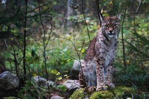 Lynx photo