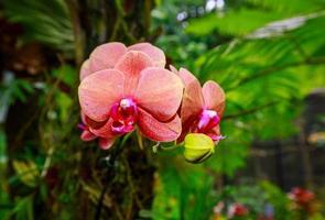 orchidée parfumée en pleine floraison photo