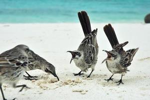 oiseau moqueur des Galapagos. photo