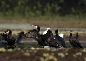 grande famille de carmorans photo
