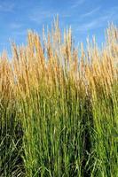 ornemental karl foerster plume roseau herbe