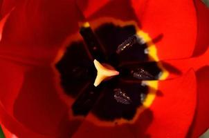 pétales de tulipes rouges ouverts au printemps
