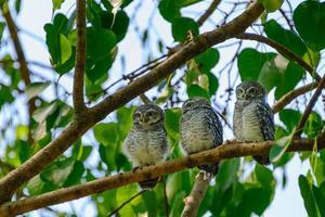 famille de chouettes tachetées sur un arbre photo