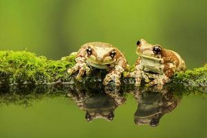 deux grenouilles au lait amazoniennes photo