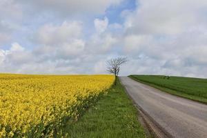champ de viol sur une petite route photo