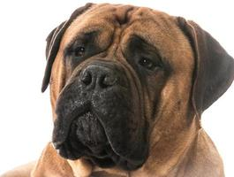 portrait de bullmastiff photo