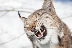 portrait de lynx photo