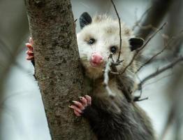 portrait d'opossum photo