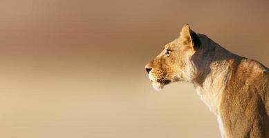 portrait de lionne photo