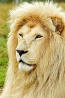 portrait de lion blanc photo