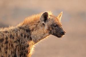 portrait d'hyène tachetée photo