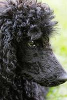 portrait de caniche noir. photo