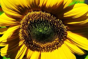 gros plan de tournesol photo