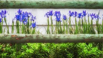irisis bleu et une clôture en bois