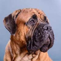 portrait de chien bullmastiff photo