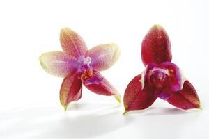 orchidées, gros plan
