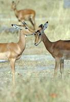 Impala toilettage, Botswana photo
