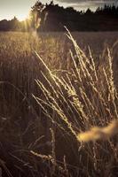 céréales et soleil photo