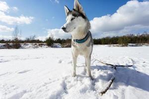portrait de husky