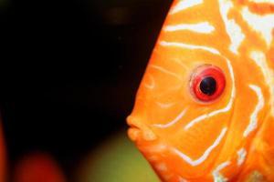 portrait de poisson discus photo
