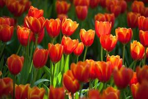 jardin de tulipes photo