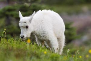 chèvre de montagne bébé broutant