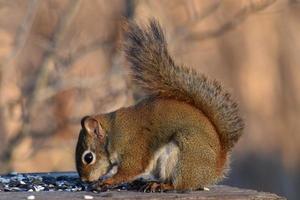 écureuil roux se nourrissant