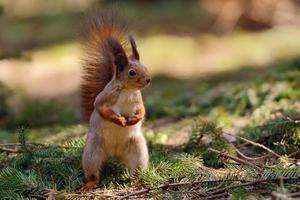 petit écureuil roux photo