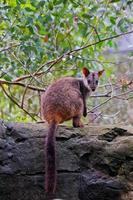 wallaby rock à queue de pinceau photo