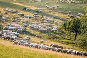 troupeau de moutons dans les montagnes du taunus photo
