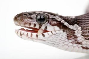 serpent des blés photo