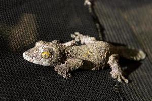 gecko à queue de feuille moussu foncé