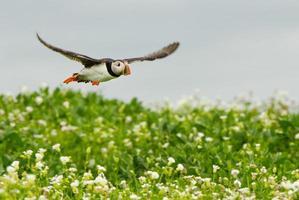 macareux volant photo