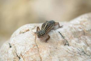 lézard gecko sur les rochers photo