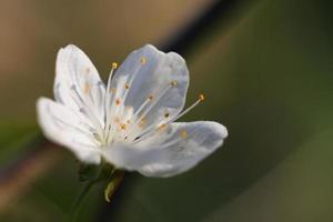 fleurs de pommier-fleurs de printemps photo