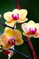 trio d'orchidées