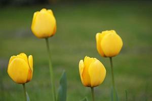 quatre fleurs de tulipes jaunes au printemps