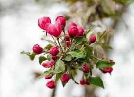 floraison des fleurs de pommetier photo