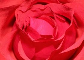 valentines rose rouge photo