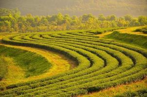 champs de plantation de thé photo