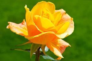 Une rose jaune photo