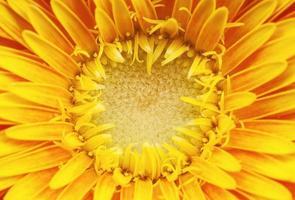 fleurs de gerber photo