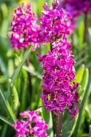 fleurs de jacinthes photo